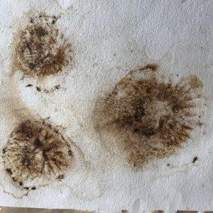 compass jelly fish imprints